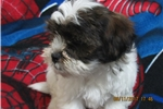 Picture of SHIH-POO FEMALE PUPPY READY FOR HER HOME