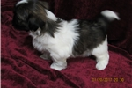 Picture of AKC MALE CHAMPION BLOODLINES SHIH-TZU PUPPY