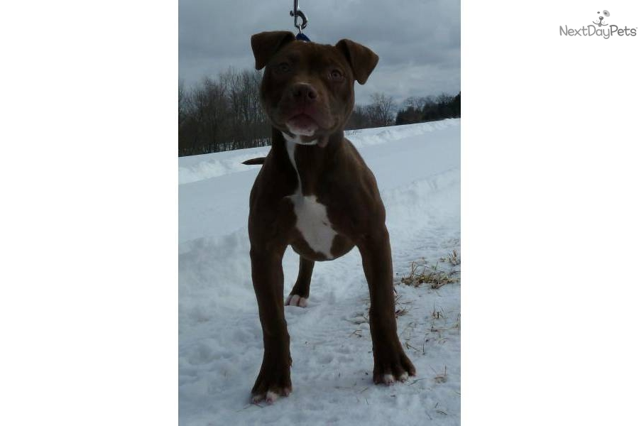American pit bull terrier puppy for sale for 950 sold chocolate red
