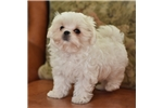 Picture of Maltese Male Cutest Face