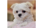 Picture of Outgoing Teacup Maltese