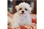 Picture of Toy Maltese Male
