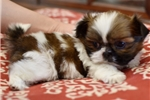 Picture of Real Tiny Shih-Tzu Female
