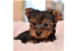 Picture of Teacup Yorkie Female