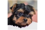 Picture of Toy Yorkie Male