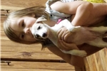 Picture of Beautiful AKC Whippet Female Puppy