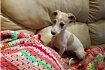 Beautiful AKC Whippet Female Puppy | Puppy at 15 weeks of age for sale