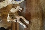 Picture of Handsome AOK Whippet Puppy Male