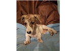 Picture of AKC Handsome Whippet Puppy Male