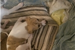 Picture of AKC Female Whippet Puppy