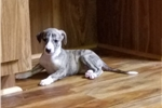 Picture of Brindle Female AKC Whippet Puppy
