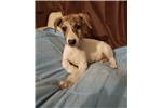 AKC Handsome Whippet Puppy Male | Puppy at 15 weeks of age for sale