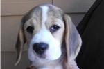 Picture of Beautiful Beagle Puppy Ready Now