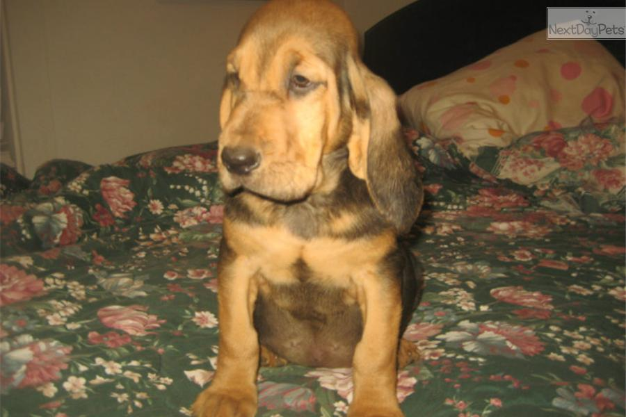 AKC Bloodhound Puppies for Sale