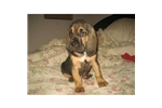 Featured Breeder of Bloodhounds with Puppies For Sale