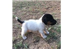 Picture of CKC registered Jack Russell puppies! Male & Female