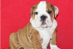 Picture of AKC Poppy