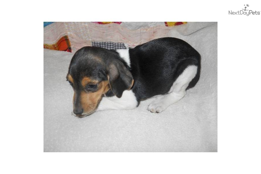 meet runt a cute beagle puppy for sale for  100  11 to 12
