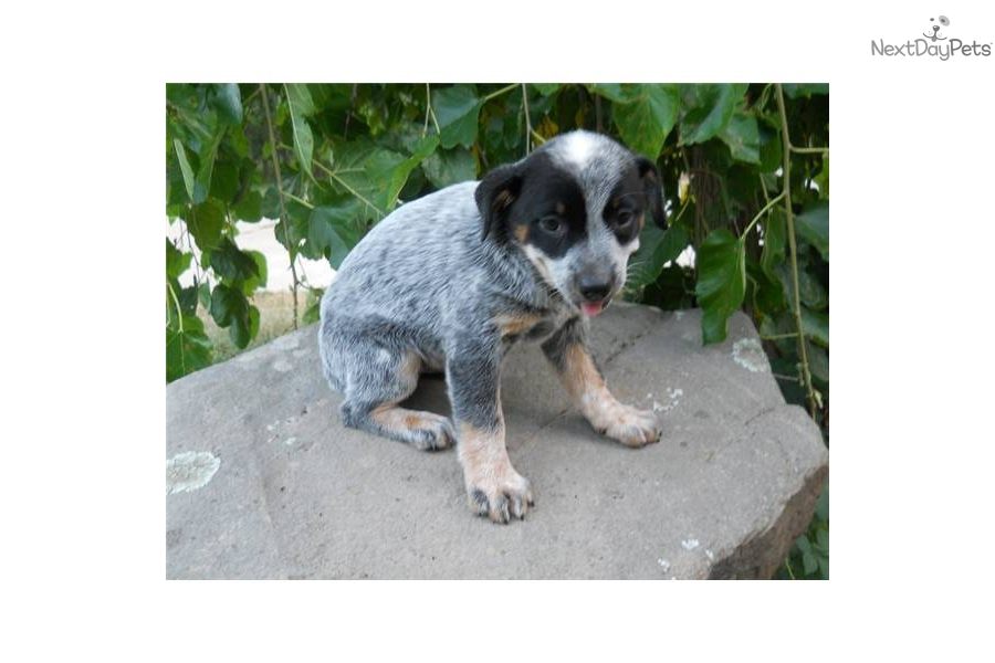 How do you train a cattle dog