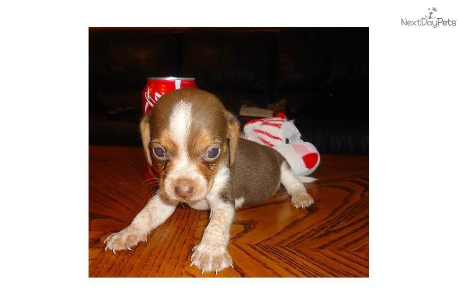 Meet Little Bell a cute Beagle puppy for sale for $350. Mini Beagle ...