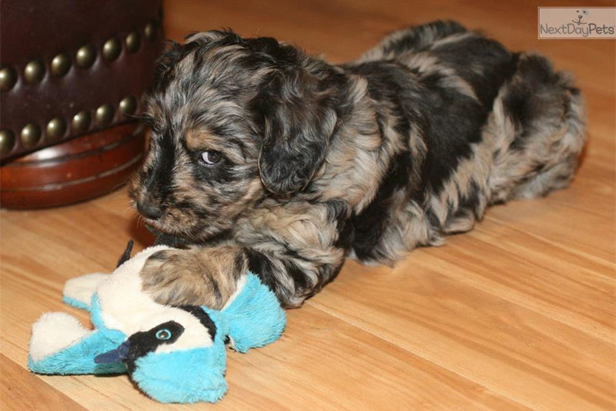 Merle Aussiedoodle Puppies For Sale Aussiedoodle Puppy For Sale
