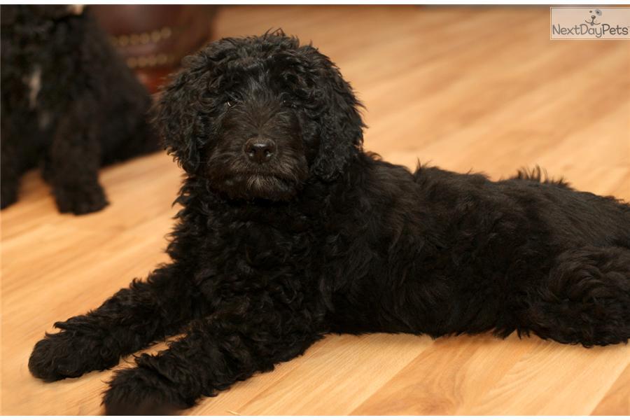 Aussiedoodle Puppy For Sale Near Richmond Virginia