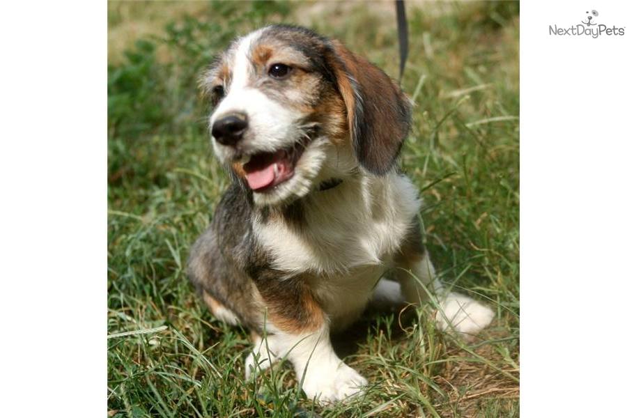 Petit basset griffon vendeen puppy for sale near richmond virginia 0311b9ac 5fb1 - Petit basset hound angers ...