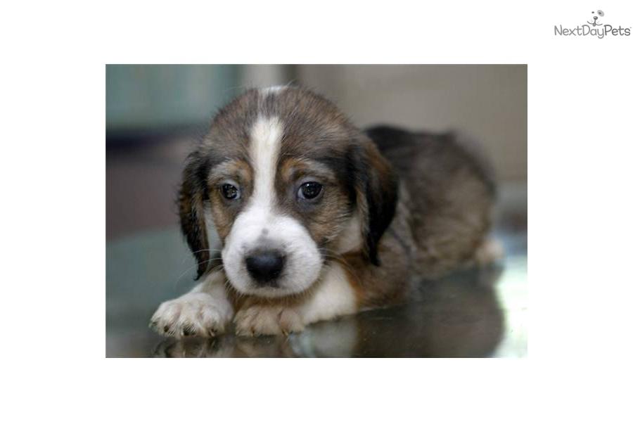 Pin Pbgv Puppies For S...