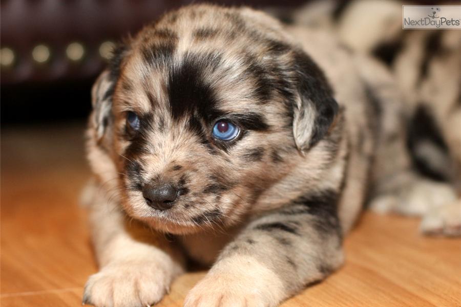 Meet Iggy a cute Australian Shepherd puppy for sale for  1 200    Blue Merle Australian Shepherd Puppy