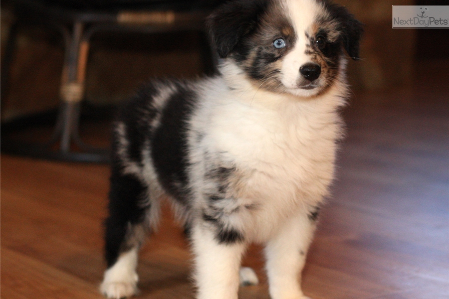San Antonio Dogs For Sale Puppies Cats Kittens   Autos Post