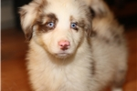Picture of Red merle female, very blue eyes!