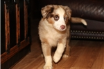 Picture of Beautiful red merle male, blue eyes! $1100