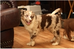 Picture of Beautiful red merle male, 2 VERY blue eyes!
