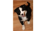 Super cute black and white male! | Puppy at 10 weeks of age for sale