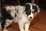Picture of Blue merle,outrageous copper points, 2 blue eyes!