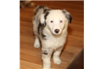 Picture of Blue merle male, blue eyes, lots of