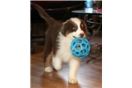 Picture of Stunning red tri male with hazel eyes $1000