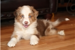 Picture of Stunning red merle male, one blue one green eye!