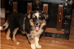 Picture of Gorgeous blue merle, copper, blue eyes! $1200
