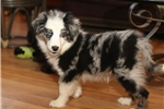 Picture of STUNNING blue merle male, 2 blue eyes