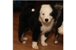 Miniature Australian Shepherds for sale