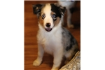 Picture of Very small mini/toy blue merle, 2 blue eyes, $1700