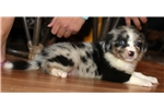 Picture of Blue merle male with two really blue eyes