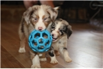Picture of Gorgeous red merle, blue/green eyes! $1000