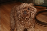 Picture of Adorable red toy poodle female, loving!
