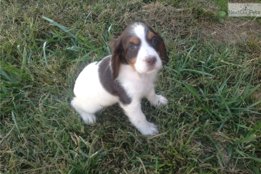 Tri color female pup brown white female english springer spaniel