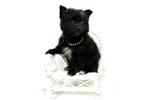 Picture of Black little PomChi Male Registered Designer Breed