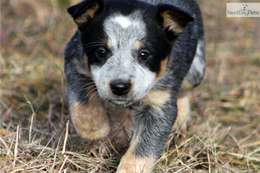 Blue Heeler Training  Dog Training with the No BRAINER