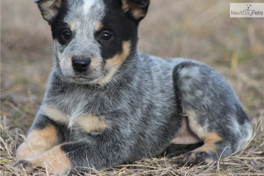 Texas heeler puppies for sale images frompo