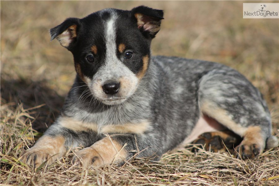 more pups hooray for heelers pinterest love the. Black Bedroom Furniture Sets. Home Design Ideas